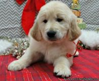 ASTONISHING M/F GOLDEN RETRIEVER PUPPIES Available For Sale.