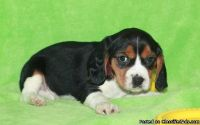 powerful BEAGLE puppies ready...adorable little boys and girl puppies