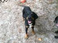 Adopt MARIA a Black and Tan Coonhound, Beagle