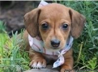 Adorable Mini Dachshund Puppies Available