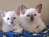 Kitty Carol Siamese Kittens