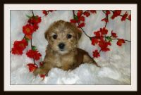 ADORABLE MALTESE MIXED WITH YORKSHIRE TERRIER IN SAN JOSE AREA