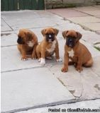 Intelligent Boxer puppies for sale
