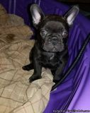 FDHHD French bulldog puppies ready for a lovely home
