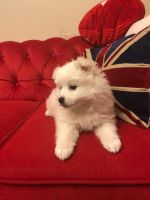 American Eskimo Dog PUPPY FOR SALE ADN-64768 - Cupid is the perfect Valentine