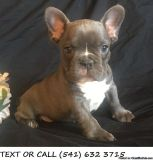 QPOND *^&!)Clever,French Bulldog Puppies