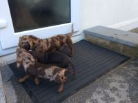 Chocolate/tan Standard Dachshund pups akc Reg Males And Females