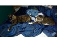 Adopt David and Tammy a Gray, Blue or Silver Tabby Domestic Mediumhair / Mixed