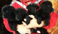 3/4 Black Lab Puppies