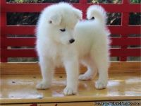 ASTONISHING M/F SAMOYED PUPPIES Available For Sale,