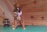 Eastpointe RBHA #! Boxer Puppies
