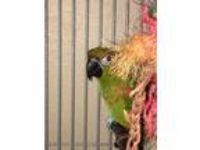 Adopt Trabella a Conure bird in Punta Gorda, FL (17056503)