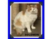 Adopt Solomon a Domestic Long Hair