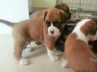 tteggev Male and female Boxer Puppies