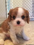 urdgsvsg Cavalier King Charles Spaniel Dog Puppies Ready for sale