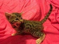 TICA Registered Christmas Bengal Kittens