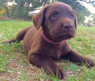 Labrador Retriever PUPPY FOR SALE ADN-52380 - Beautiful AKC Labrador Puppies