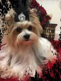 AKC Yorkie stud available for stud service