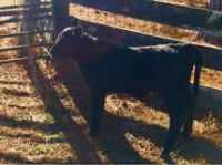 Black Angus Registered bull calf