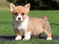 LOVELY M/F PEMBROKE WELSH CORGI PUPPIES Available For Sale