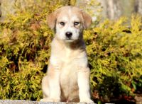 Pomsky-Goldendoodle Mix PUPPY FOR SALE ADN-52131 - Pomsky Mix Puppy For Sale