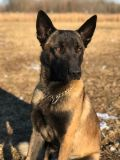 Belgian Malinois PUPPY FOR SALE ADN-58858 - Purebred Belgian Malinois Puppies