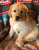 Adorable Golden Doodle puppies (males)