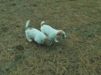 Jack Russell Terrier PUPPY FOR SALE ADN-48237 - Premium AKC Male and Females