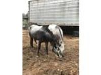 Adopt Chief a Appaloosa