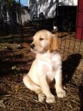 AKC Golden Retriever Puppies looking for their forever homes