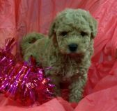 Poodle (Miniature)-Golden Retriever Mix PUPPY FOR SALE ADN-53993 - Mini Goldendoodle puppies creams goldens and black