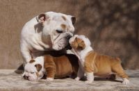 LuLu Male and Female English Bulldog puppies for sale