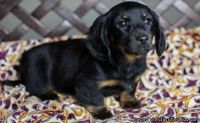 JYHVGBC Miniature Dachshund Puppies