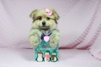Las Vegas Teacup Puppies For Christmas - No Better Gift Than The Gift Of LOVE!