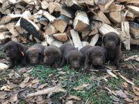 Labrador Retriever PUPPY FOR SALE ADN-63431 - CKC Labrador Retriever Puppies