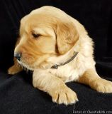 MNBVGFC Golden Retriever Puppies