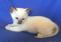 Beautiful Siamese Kittens Ready Now