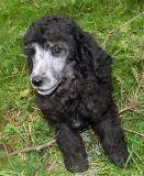 Poodle (Standard) PUPPY FOR SALE ADN-63879 - Solid Silver Standard Poodle