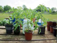$1.25, ORGANIC Vegetable Plants for your garden