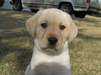Labrador Retriever PUPPY FOR SALE ADN-51928 - AKC Yellow Male blue coller
