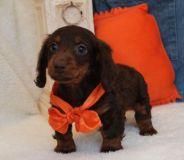 Hershey Mini Dachshund Boy!Est. Est 7 to 8lbs mature