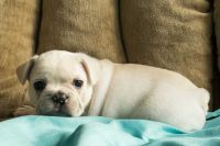 French Bulldog PUPPY FOR SALE ADN-62654 - Buster