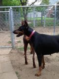 $800, AKC Reg Doberman Pinscher Female