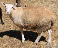 Cheviot Ram-Pet or Registered