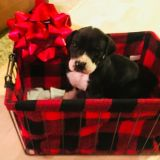 Great Dane PUPPY FOR SALE ADN-55348 - Litter of 10