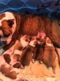 Olde English Bulldogge PUPPY FOR SALE ADN-55184 - Pups ready by Jan 3rd