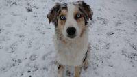 Australian Shepherd PUPPY FOR SALE ADN-56354 - Puppies Due Early Feb