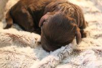 Australian Labradoodle PUPPY FOR SALE ADN-54350 - Australian Multi Gen Labradoodle Puppies