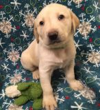AKC YELLOW LABRADOR PUPPIES - READY AT CHRISTMAS - BRED FOR FAMILY & FIELD