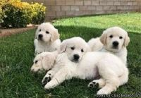 LOVELY M/F GOLDEN RETRIEVER PUPPIES Available For Sale